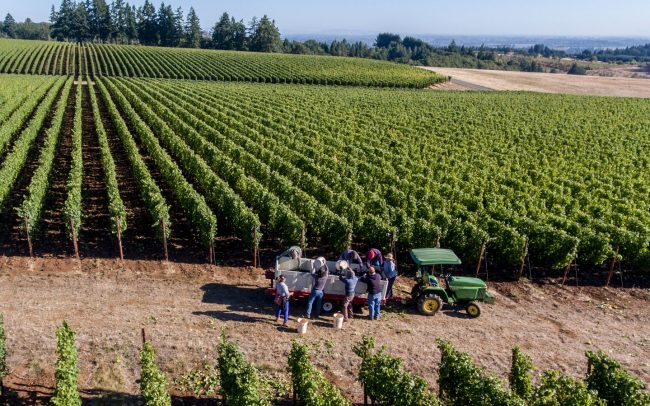 Vineyard workers dumping picking buckets into bins on trailer being towed by a tractor