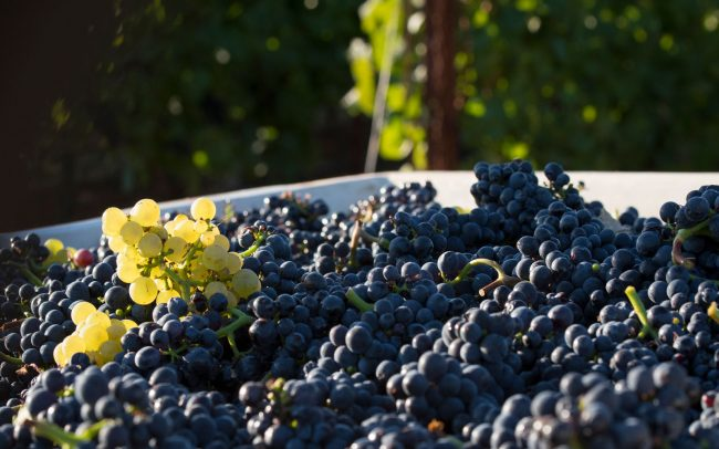 Pinot noir grapes with lone cluster of white grapes