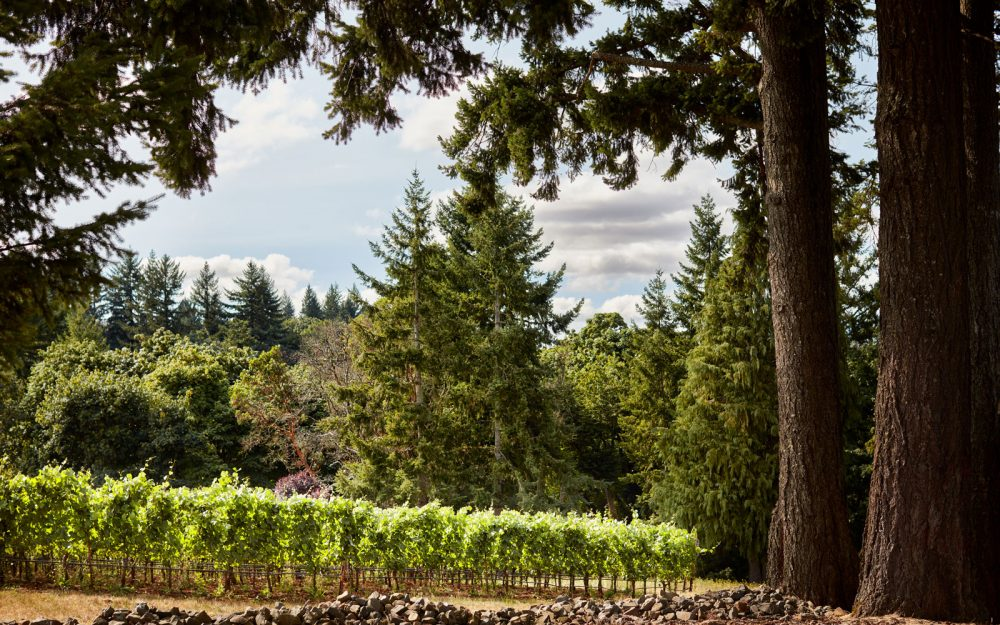 Vineyard ending at the tree line with giant evergreen trees